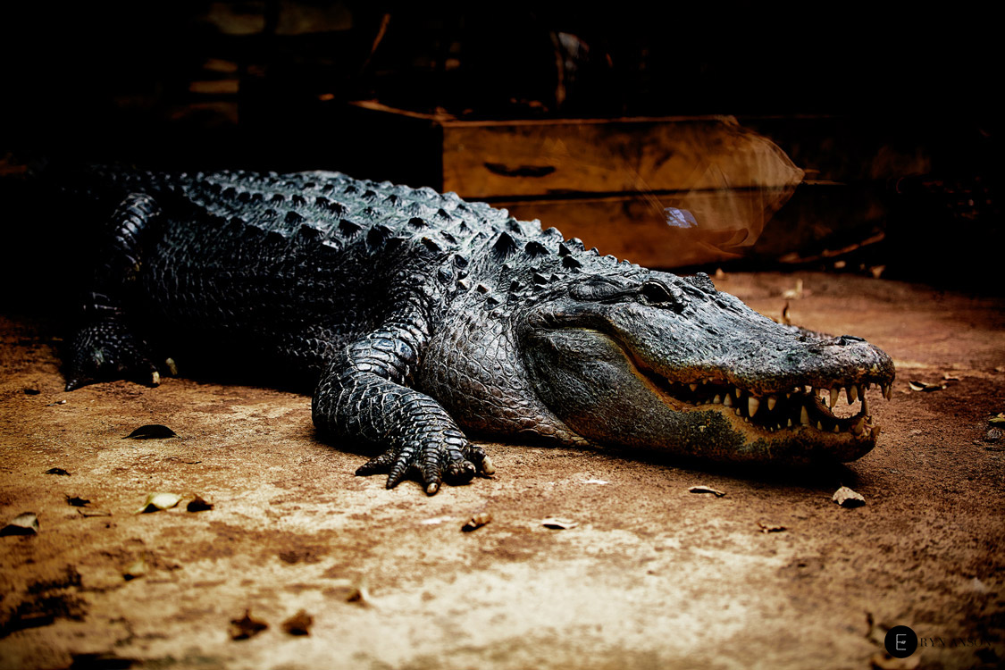 Alligator - Beauval