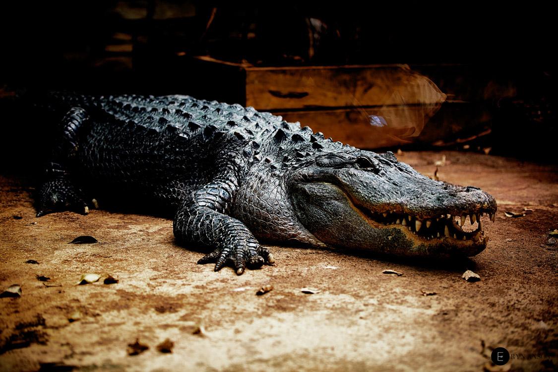 Alligator - Beauval