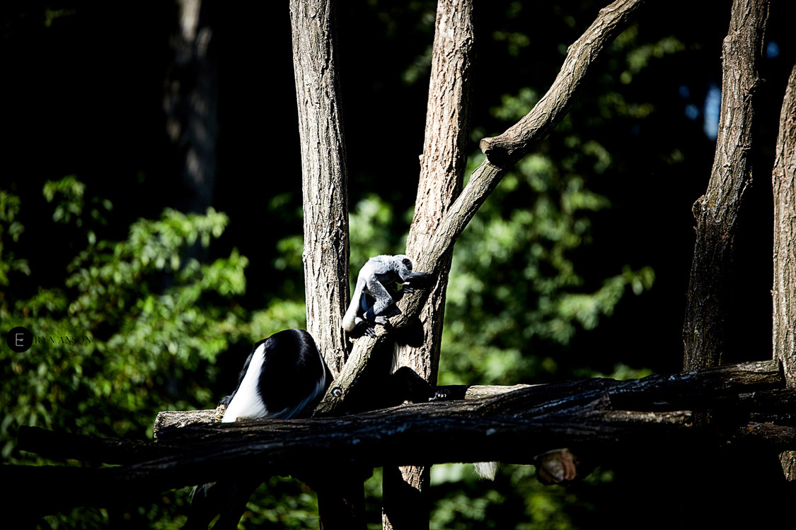 Singes - Beauval
