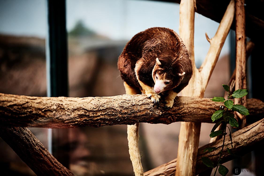 Kangourou arboricole - Beauval