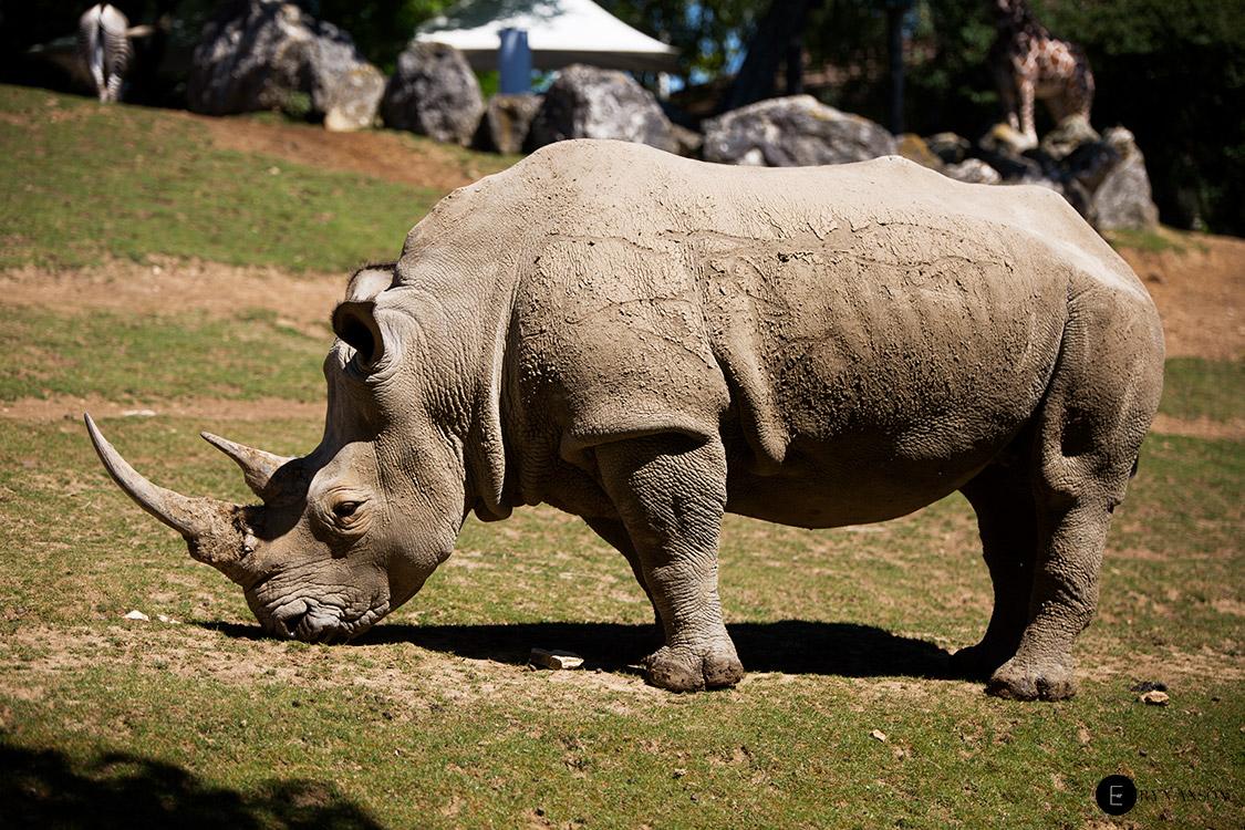 Rhinocéros - Beauval
