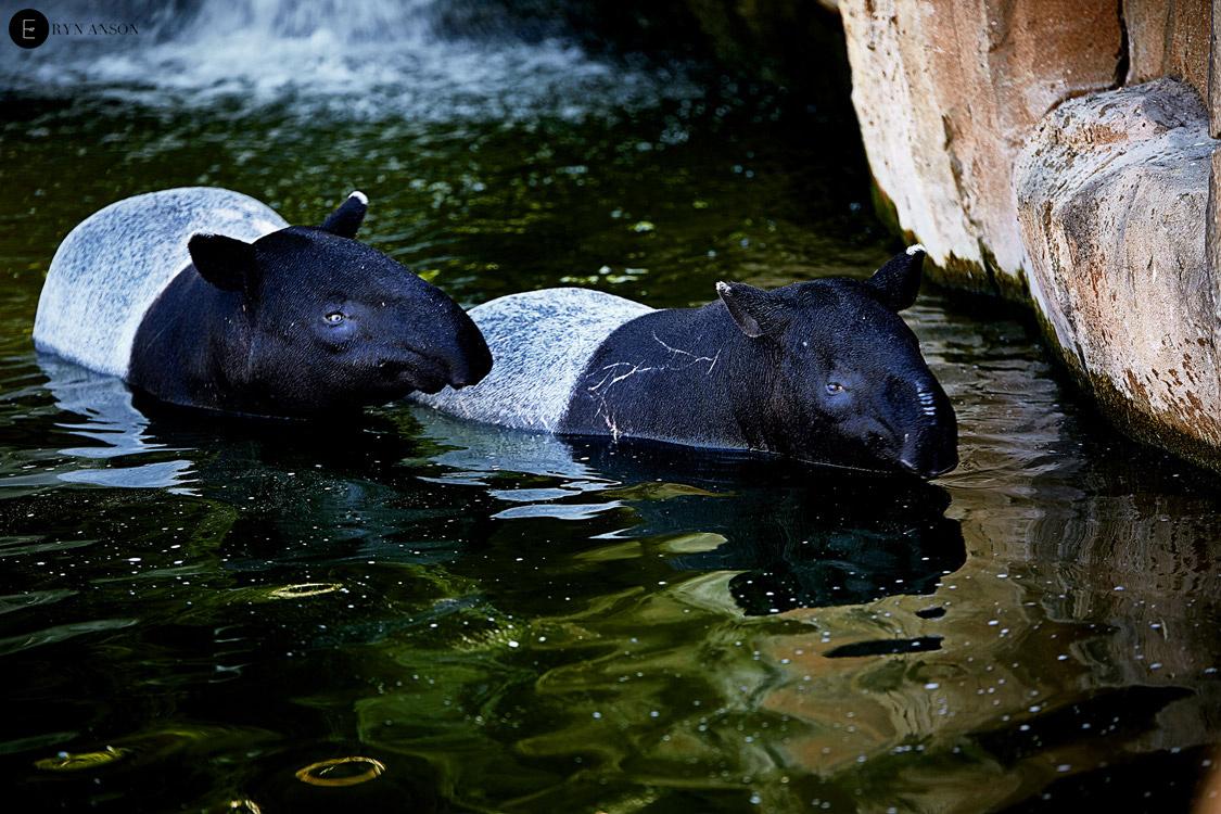 Tapirs - Beauval