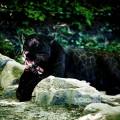 Jaguar noir - Beauval